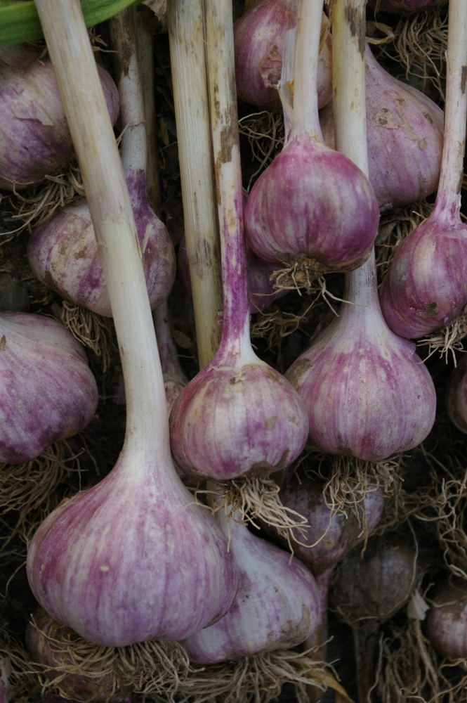 Heirloom garlic from the women of the Salmon River. Originally from Francis Zaunmiller Wisner.