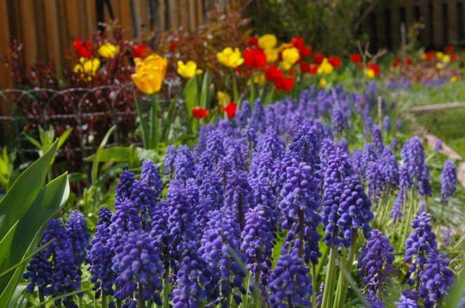 Gram's spring bloom